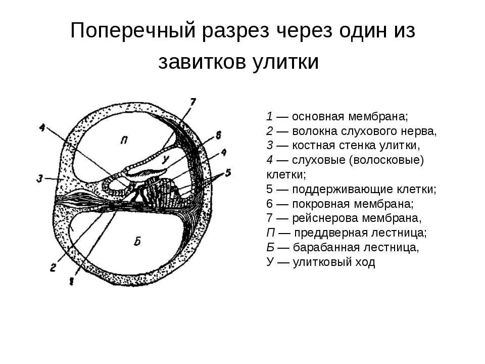 Поперечный разрез через один из завитков улитки 1 — основная мембрана; 2 — во...