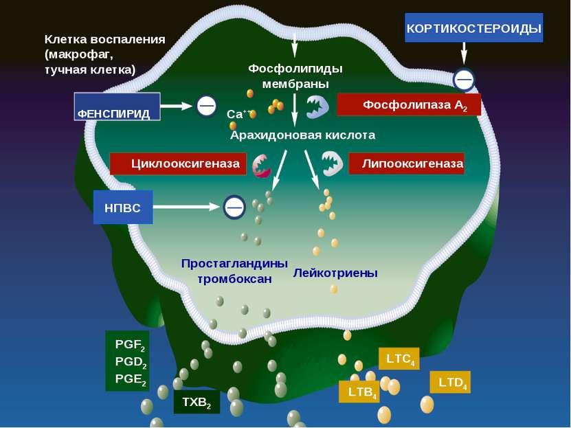 Клетка воспаления (макрофаг, тучная клетка) КОРТИКОСТЕРОИДЫ Фосфолипиды мембр...