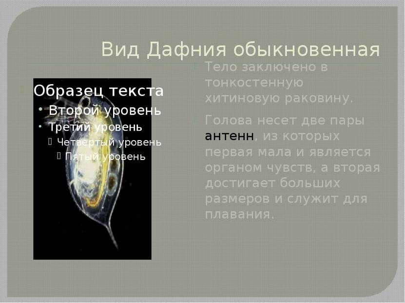 Вид Дафния обыкновенная Тело заключено в тонкостенную хитиновую раковину. Гол...