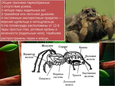 Общие признаки паукообразных: 1-отсутствие усиков, 2-четыре пары ходильных но...