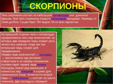 СКОРПИОНЫ Тело скорпиона состоит из небольшойголовогрудиили длинного брюшк...