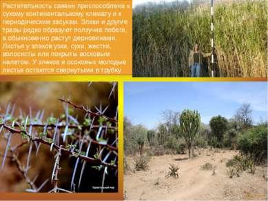 Растительность саванн приспособлена к сухому континентальному климату и к пер...