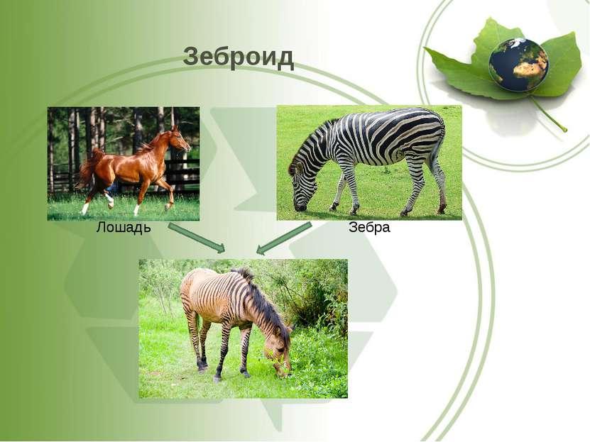 Зеброид Лошадь Зебра