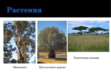 Растения Эвкалипт. Бутылочное дерево. Зонтичная акация.