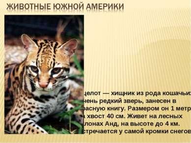 Оцелот — хищник из рода кошачьих. Очень редкий зверь, занесен в Красную книгу...