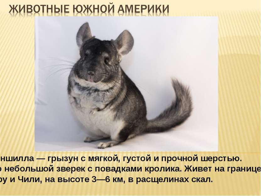 Шиншилла — грызун с мягкой, густой и прочной шерстью. Это небольшой зверек с ...