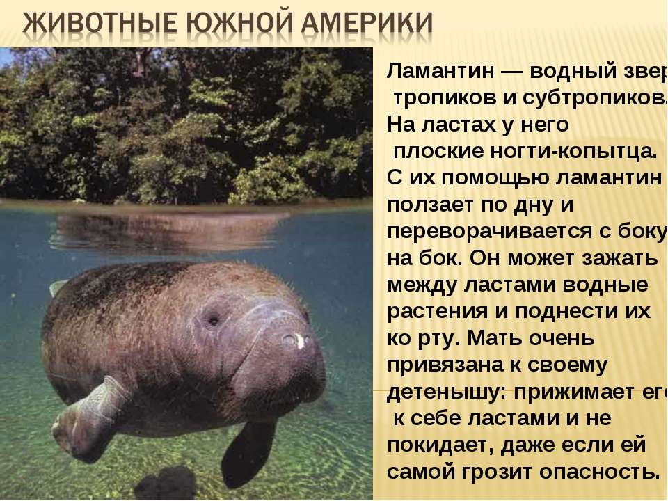 Ламантин — водный зверь тропиков и субтропиков. На ластах у него плоские ногт...