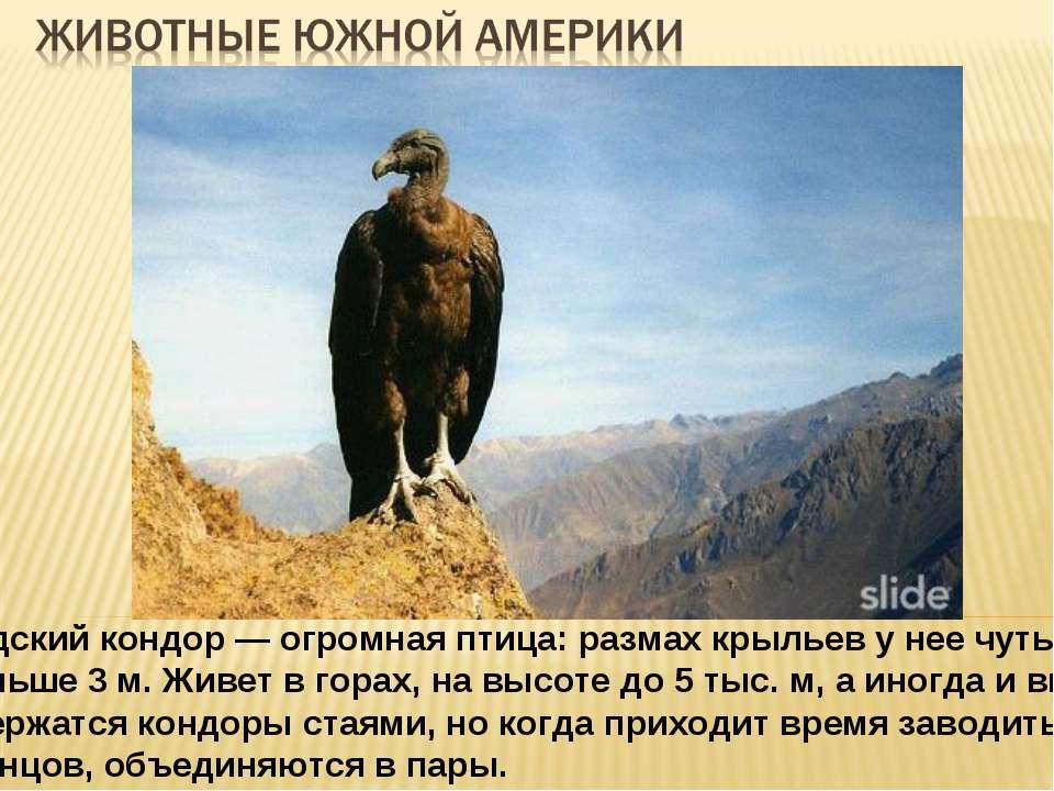 Андский кондор — огромная птица: размах крыльев у нее чуть меньше 3 м. Живет ...