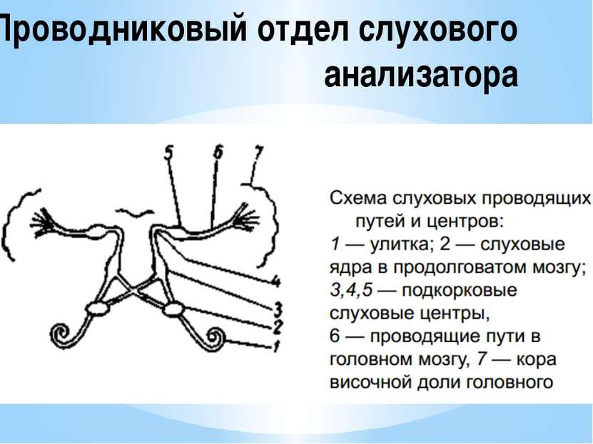 Проводниковый отдел слухового анализатора
