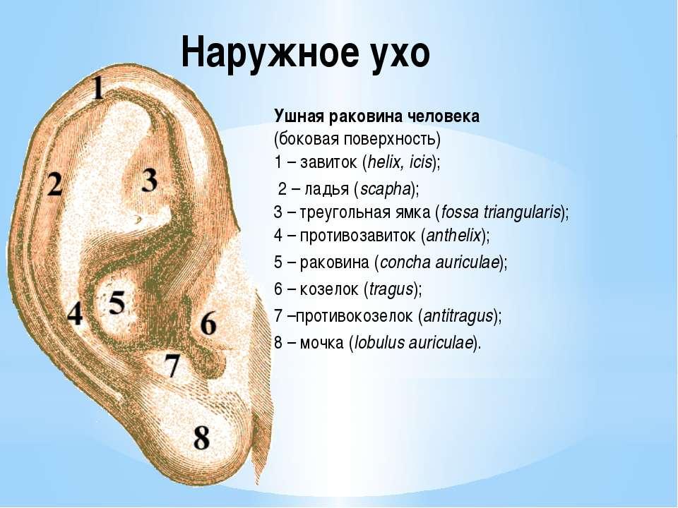 Наружное ухо Ушная раковина человека (боковая поверхность) 1 – завиток (helix...
