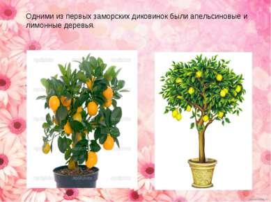Одними из первых заморских диковинок были апельсиновые и лимонные деревья.