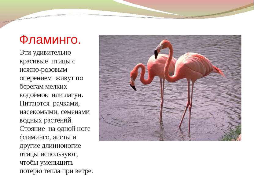 Фламинго. Эти удивительно красивые птицы с нежно-розовым оперением живут по б...