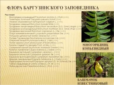 Растения Многорядник копьевидный Polystichum lonchitis (L.) Roth (-/-/+) Тели...