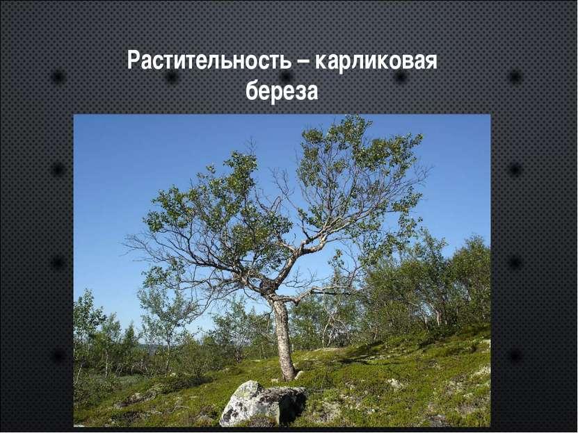 Растительность – карликовая береза