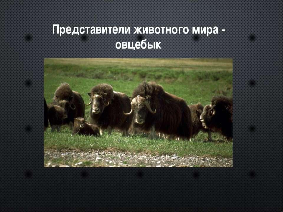 Представители животного мира - овцебык