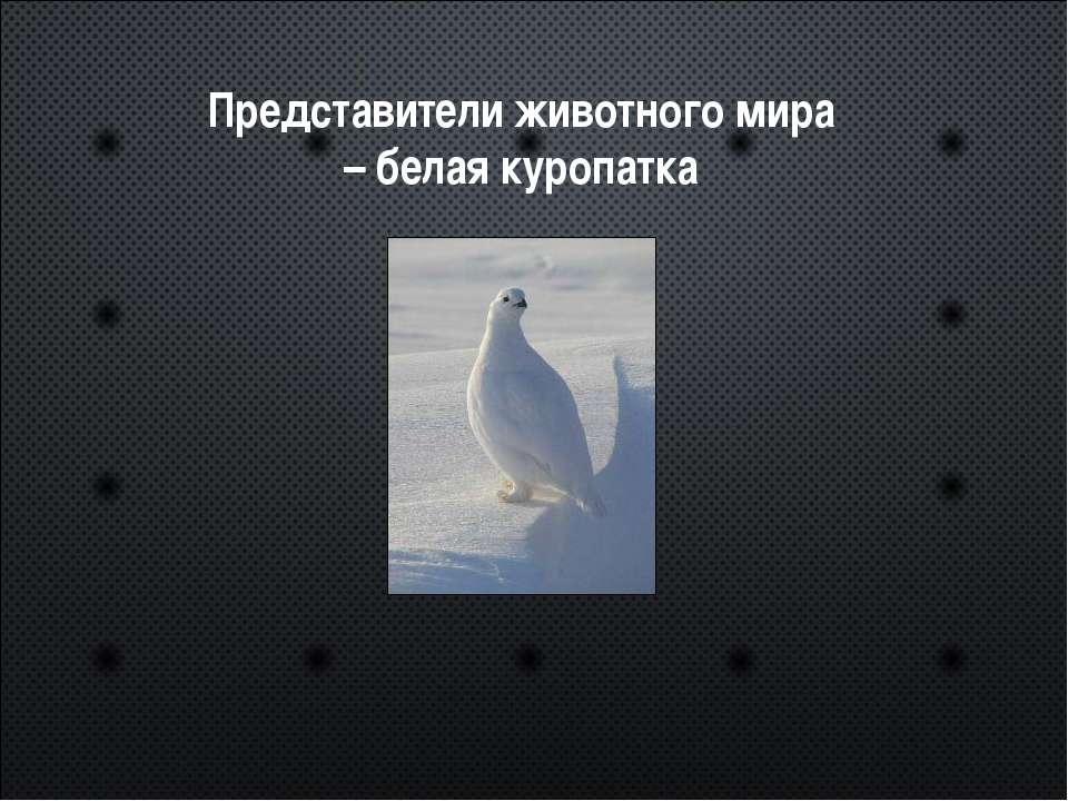 Представители животного мира – белая куропатка