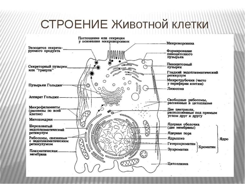 СТРОЕНИЕ Животной клетки