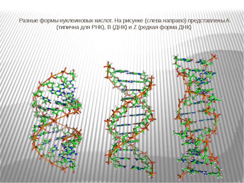 Разные формы нуклеиновых кислот. На рисунке (слева направо) представлены A (т...