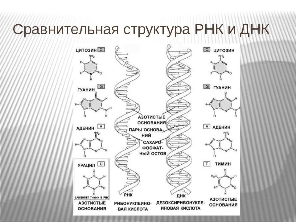 Сравнительная структура РНК и ДНК