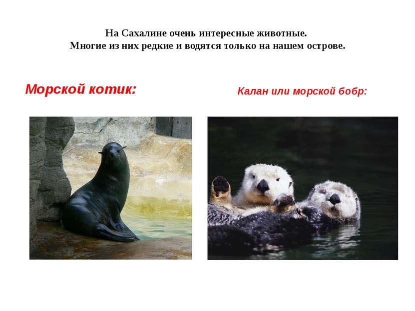 На Сахалине очень интересные животные. Многие из них редкие и водятся только ...