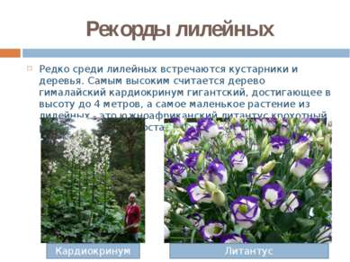 Рекорды лилейных Редко среди лилейных встречаются кустарники и деревья. Самым...