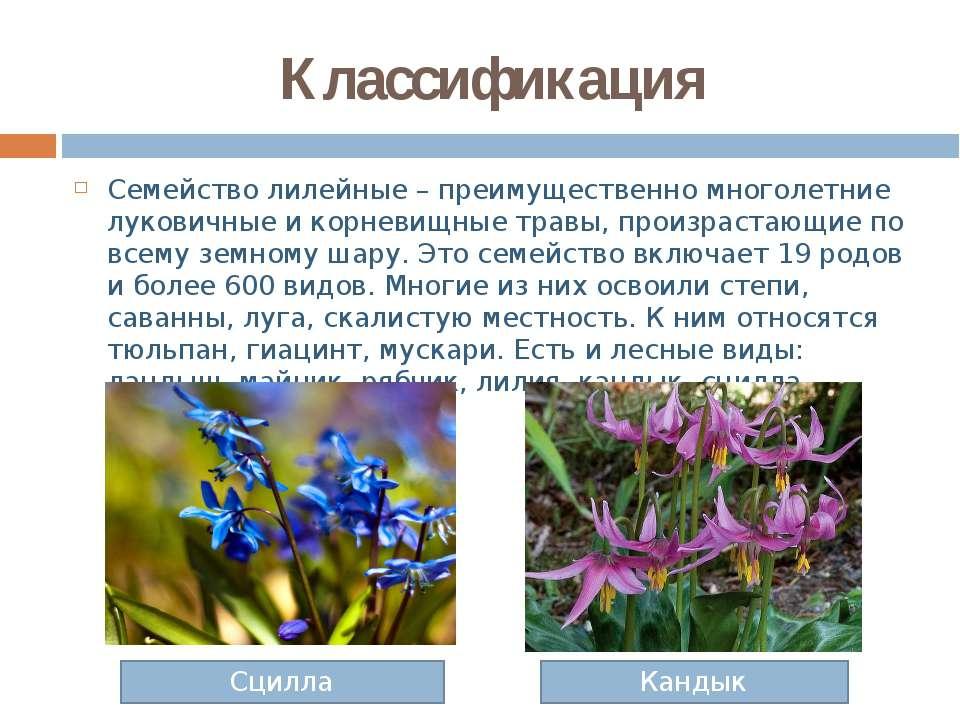 Классификация Семейство лилейные – преимущественно многолетние луковичные и к...