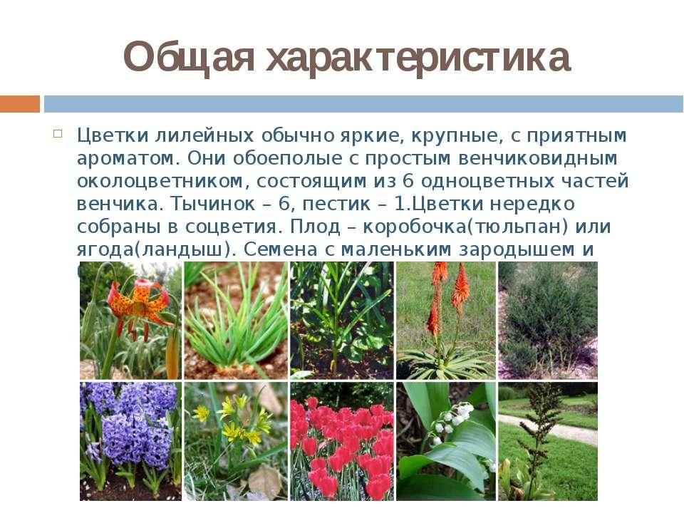 Общая характеристика Цветки лилейных обычно яркие, крупные, с приятным аромат...