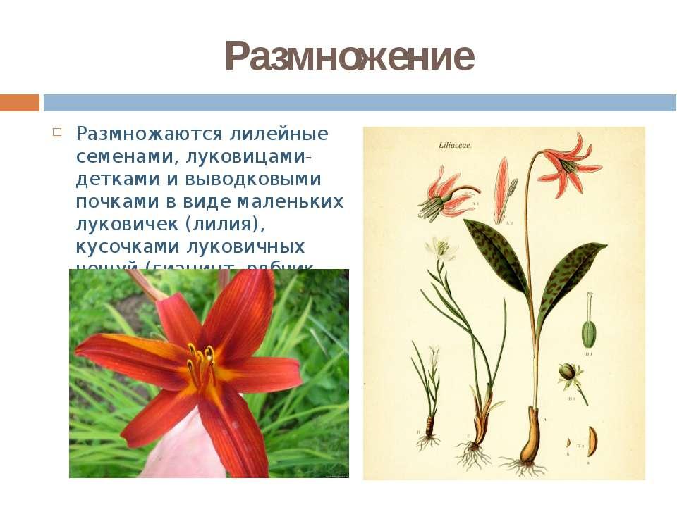 Размножение Размножаются лилейные семенами, луковицами-детками и выводковыми ...