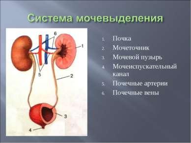 Почка Мочеточник Мочевой пузырь Мочеиспускательный канал Почечные артерии Поч...