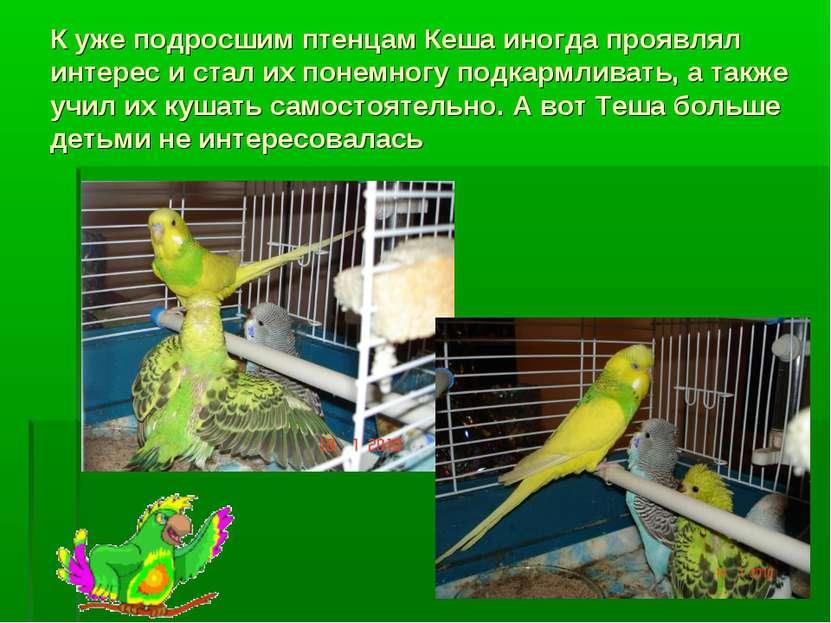 К уже подросшим птенцам Кеша иногда проявлял интерес и стал их понемногу подк...