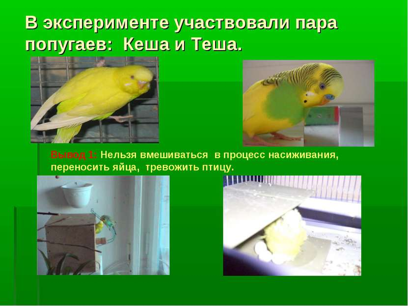 В эксперименте участвовали пара попугаев: Кеша и Теша. Вывод 1: Нельзя вмешив...