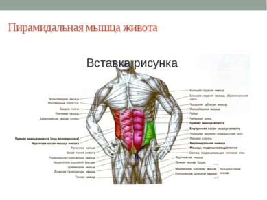 Пирамидальная мышца живота Она имеет значение только у сумчатых животных.