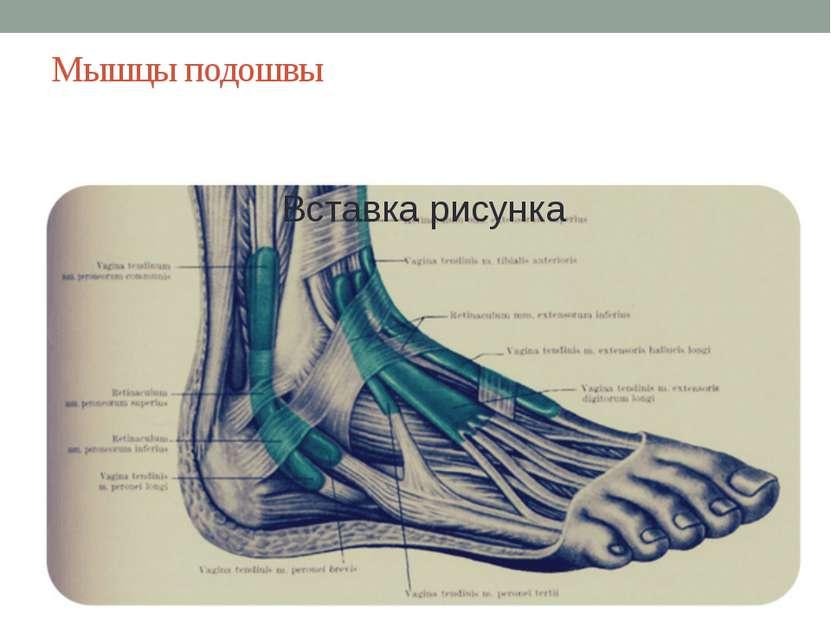 Мышцы подошвы Подошвенные мышцы используют животные, чтобы захватывать и мани...
