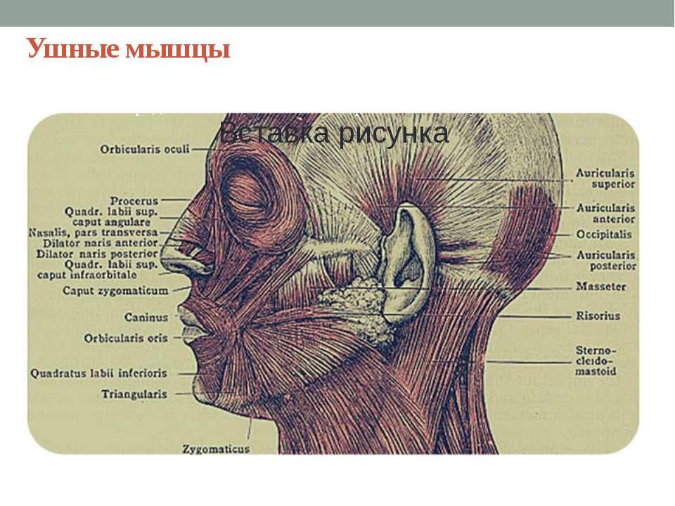 Ушные мышцы Животные: сосредоточить внимание на определенном звуке.