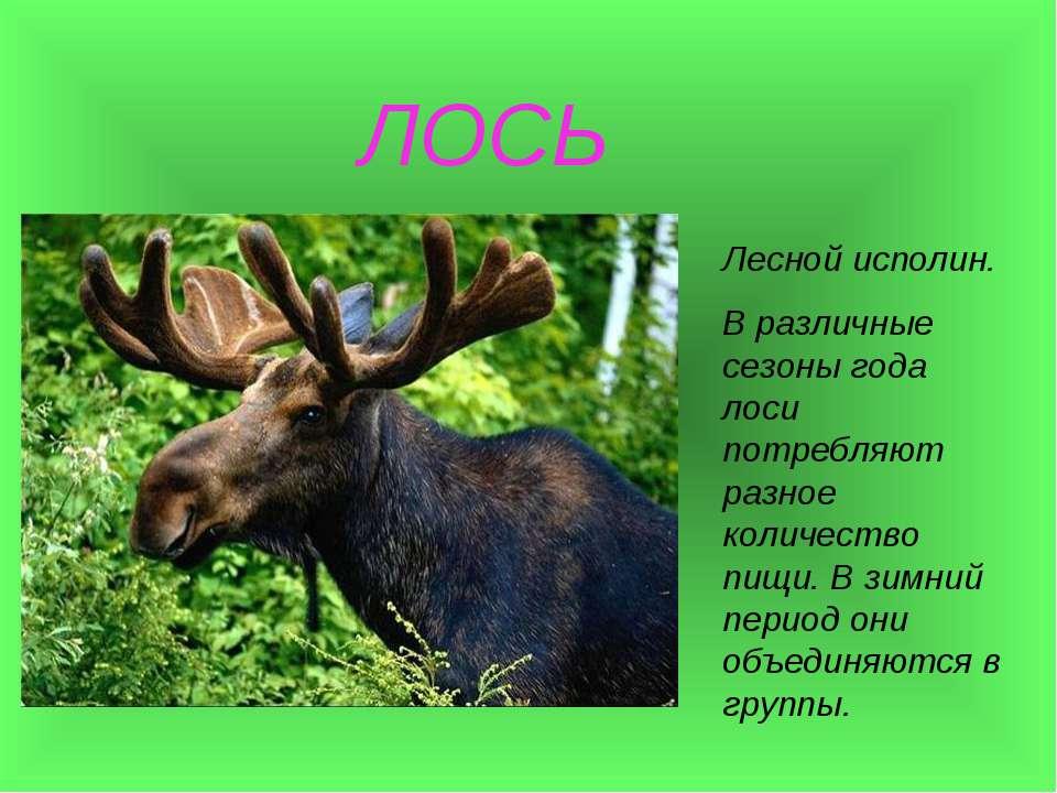 ЛОСЬ Лесной исполин. В различные сезоны года лоси потребляют разное количеств...