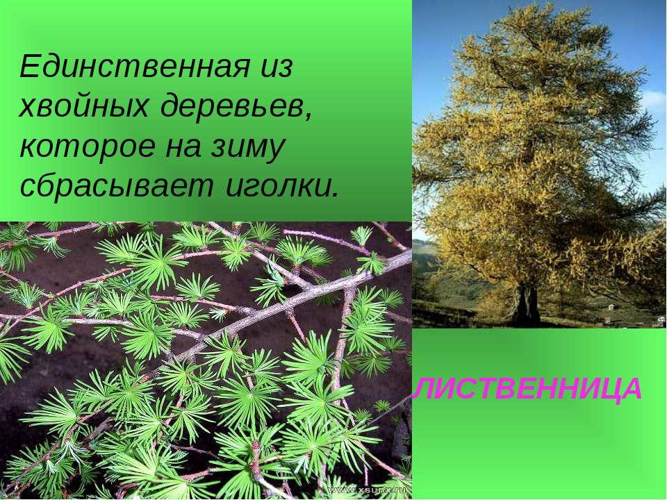 ЛИСТВЕННИЦА Единственная из хвойных деревьев, которое на зиму сбрасывает иголки.