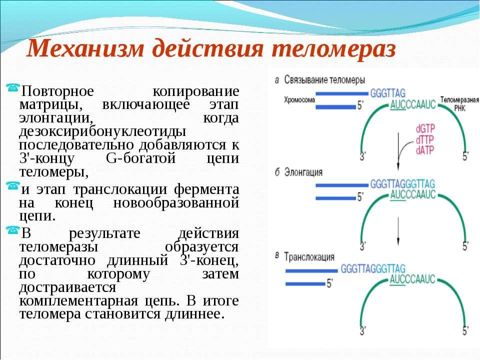 Механизм действия теломераз Повторное копирование матрицы, включающее этап эл...