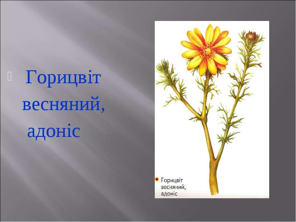 Горицвіт весняний, адоніс