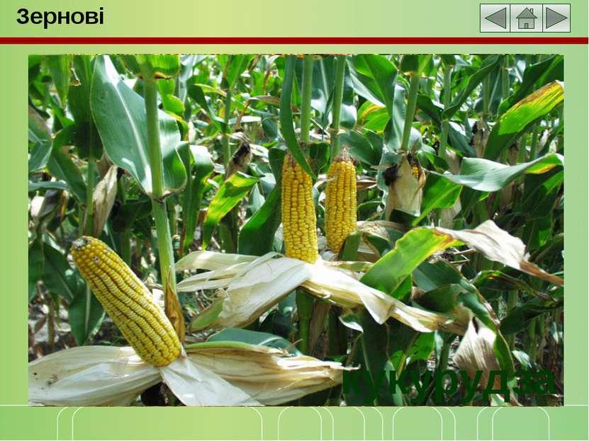 Зернові овес пшениця просо рис кукурудза