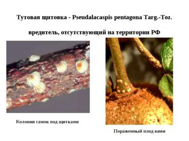 Тутовая щитовка - Pseudalacaspis pentagona Targ.-Toz. вредитель, отсутствующи...