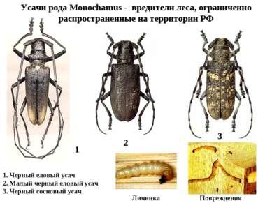 Усачи рода Monochamus - вредители леса, ограниченно распространенные на терри...