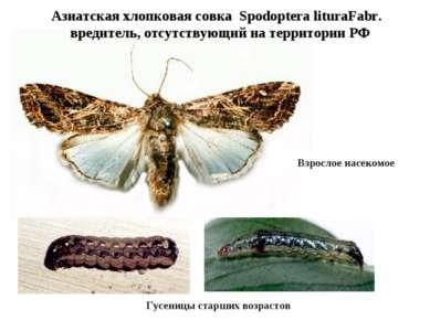 Азиатская хлопковая совка Spodoptera lituraFabr. вредитель, отсутствующий на ...