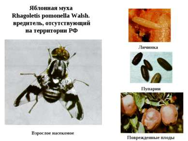 Яблонная муха Rhagoletis pomonella Walsh. вредитель, отсутствующий на террито...