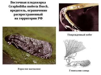 Восточная плодожорка Grapholitha molesta Busck. вредитель, ограниченно распро...