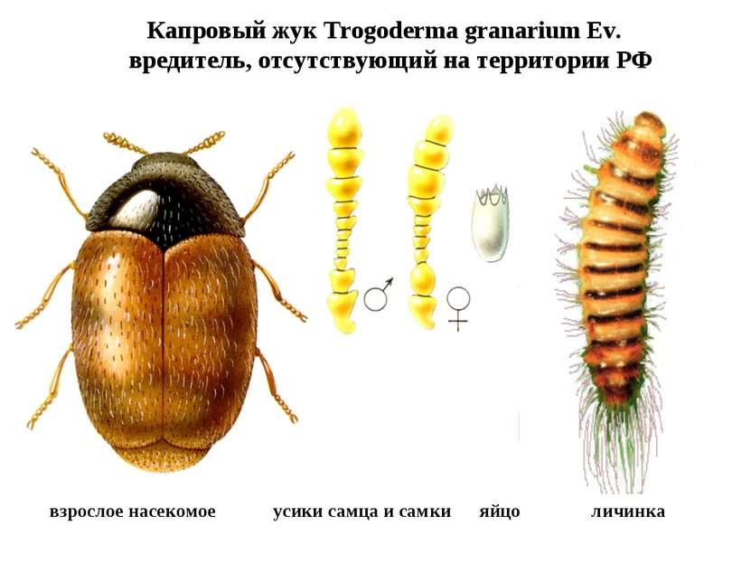 Капровый жук Trogoderma granarium Ev. вредитель, отсутствующий на территории ...