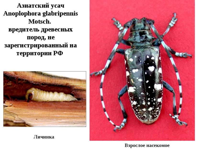 Личинка Азиатский усач Anoplophora glabripennis Motsch. вредитель древесных п...