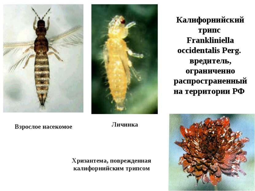 Калифорнийский трипс Frankliniella occidentalis Perg. вредитель, ограниченно ...
