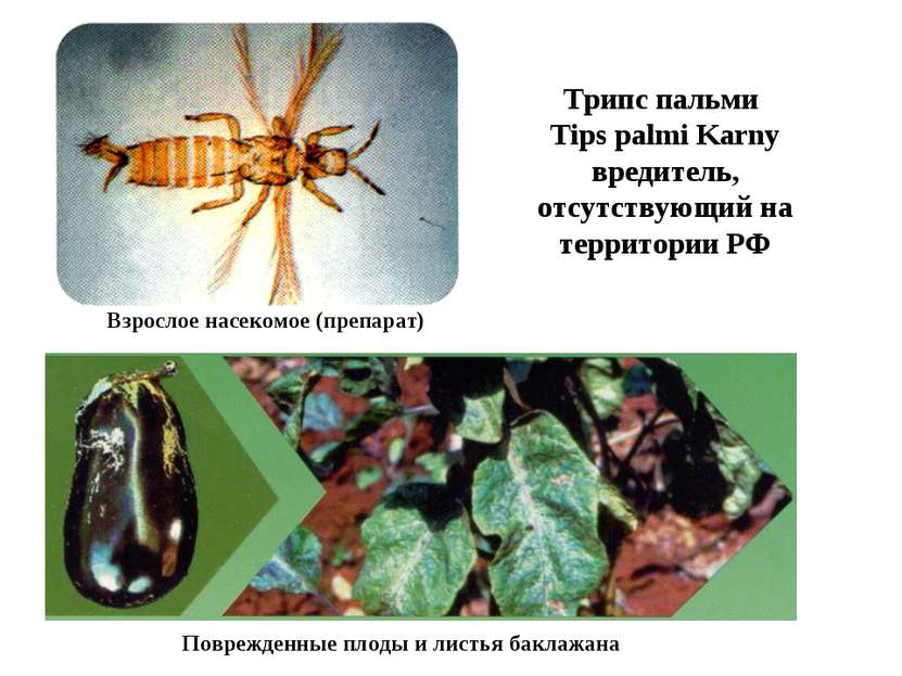 Трипс пальми Tips palmi Karny вредитель, отсутствующий на территории РФ Взрос...