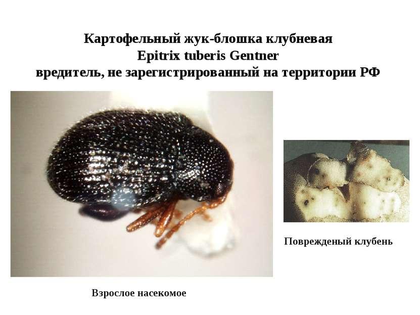 Картофельный жук-блошка клубневая Epitrix tuberis Gentner вредитель, не зарег...