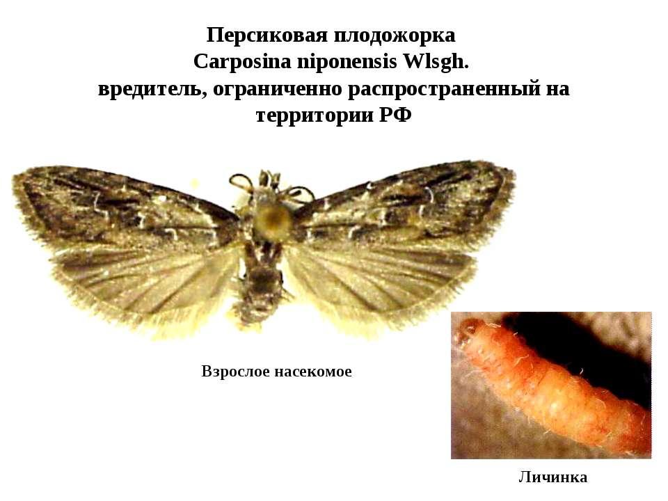 Персиковая плодожорка Carposina niponensis Wlsgh. вредитель, ограниченно расп...